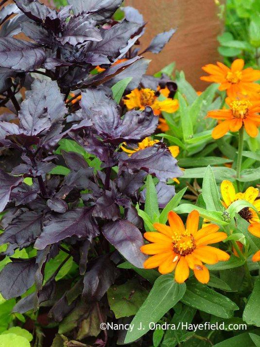 'Osmin' basil (Ocimum basilicum) with 'Profusion Orange' zinnia in mid-August; Nancy J. Ondra at Hayefield