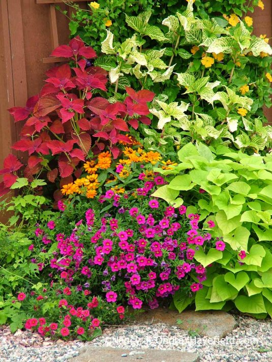 Safe in this metal half-barrel planter, the big, bright leaves of 'Sweet Georgia Heart Light Green' sweet potato vine (Ipomoea batatas) can hold their own with equally vibrant companions--in this case, 'Aloha Neon 2011' calibrachoa, 'Profusion Orange' zinnia, 'Sedona' coleus, Iresine lindenii 'Formosa', and 'Susie Orange Clear' black-eyed Susan vine (Thunbergia alata). [Nancy J. Ondra at Hayefield]
