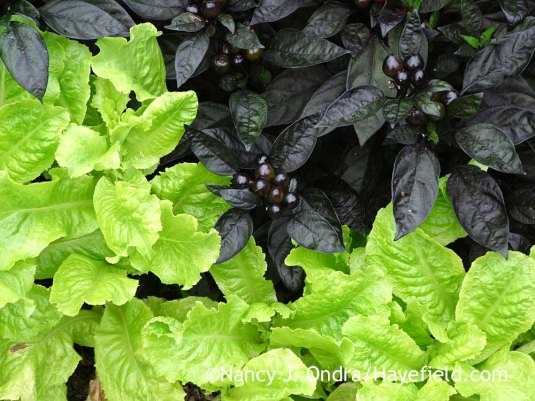 'Black Pearl' pepper (Capsicum annuum) with 'Australian Yellow' lettuce in mid-September; Nancy J. Ondra at Hayefield