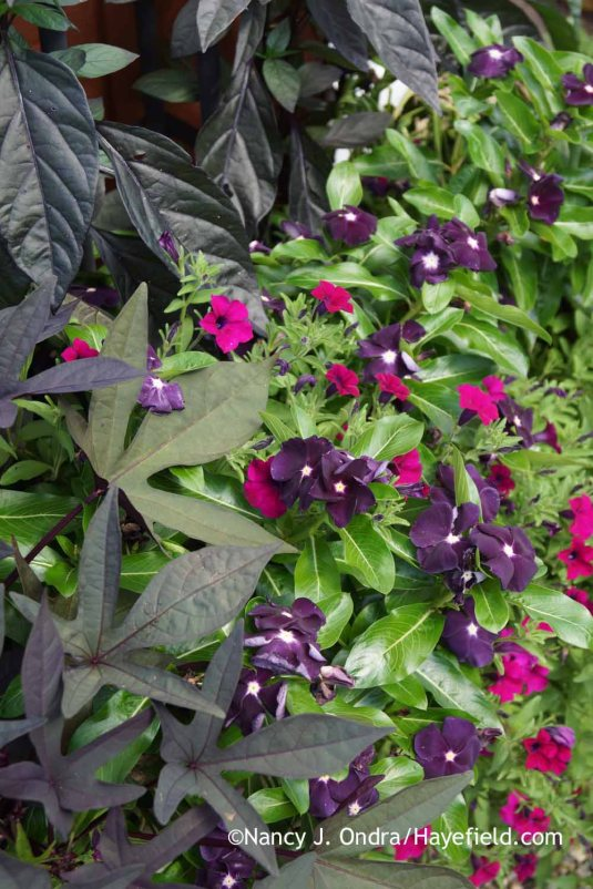 'Jams 'N Jellies' rose periwinkle (Catharanthus roseus) with a no-name magenta petunia, 'Blackie' sweet potato vine (Ipomoea batatas), and 'Black Pearl' pepper (Capsicum annuum); Nancy J. Ondra at Hayefield