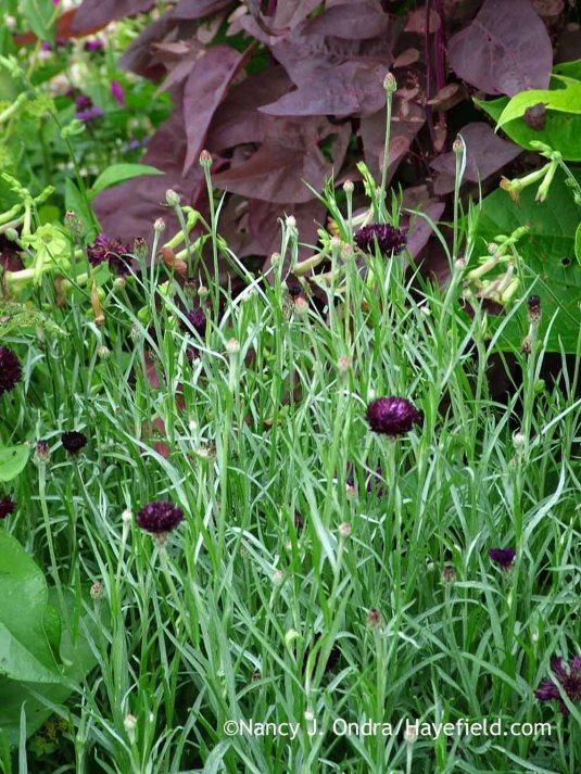 'Black Ball' cornflower (Centaurea cyanus) with 'Magenta Magic' orach (Atriplex hortensis); Nancy J. Ondra at Hayefield