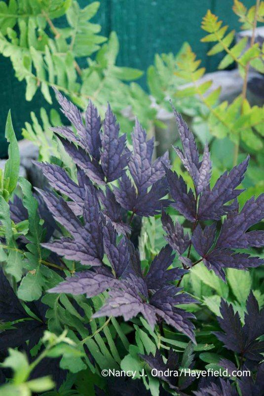 'Hillside Black Beauty' bugbane (Cimicifuga simplex or Actaea simplex) with purple-stemmed royal fern (Osmunda regalis 'Purpurascens') in late June; Nancy J. Ondra at Hayefield