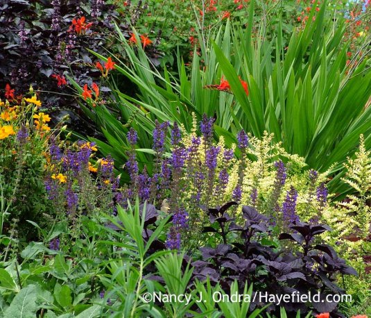 'Dark Star' coleus (Solenostemon scutellarioides) with 'May Night' perennial sage (Salvia), 'Baggesen's Gold' box honeysuckle (Lonicera nitida), 'Lucifer' crocosmia (Crocosmia), and 'Osmin' basil (Ocimum basilicum) in mid-August; Nancy J. Ondra at Hayefield