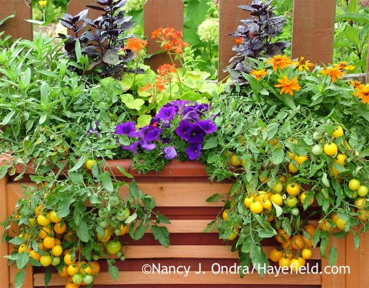 "Limited by time, space, or mobility? You can still enjoy puttering around with beautiful, fragrant, and flavorful plants. This 30"" x 15"" x 10"", ""self-watering"" liner in a wheeled wooden frame supported a generous abundance of 'Osmin' purple basil, zinnias, petunias, pelargonium, and 'Tumbling Tom Yellow' cherry tomatoes. [Nancy J. Ondra at Hayefield]"