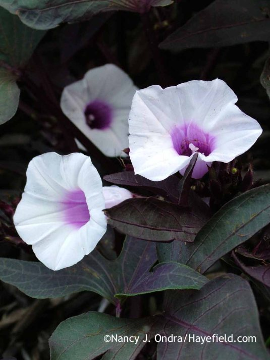 'Sweet Caroline Purple' sweet potato vine (Ipomoea batatas) in flower in mid-September; Nancy J. Ondra at Hayefield