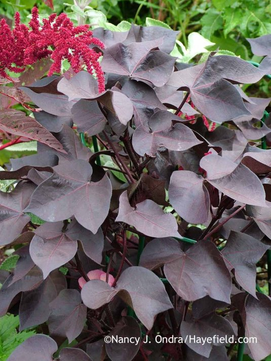Black-leaved cotton (Gossypium herbaceum 'Nigrum') with 'Hopi Red Dye' amaranth (Amaranthus) in early September; Nancy J. Ondra at Hayefield