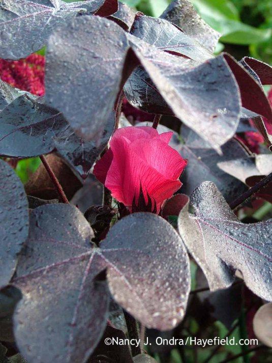 Black-leaved cotton (Gossypium herbaceum 'Nigrum') in bloom (late September 2011); Nancy J. Ondra at Hayefield