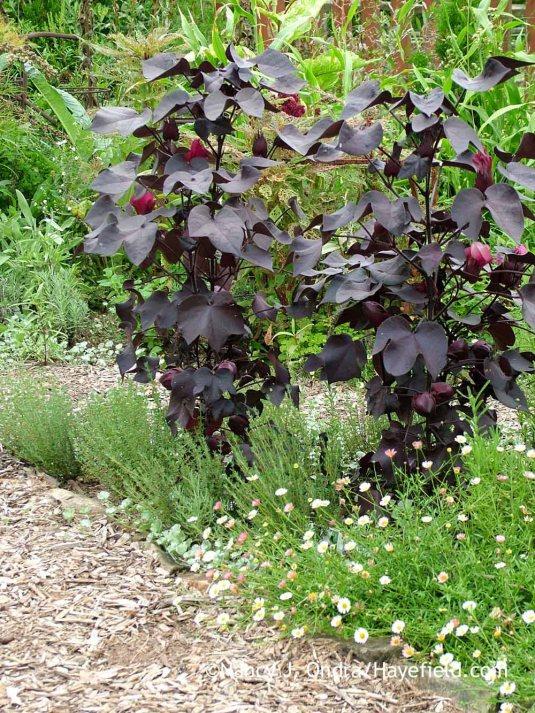 Black-leaved cotton (Gossypium herbaceum 'Nigrum'), here with common thyme (Thymus vulgaris) and Mexican fleabane (Erigeron karvinskianus) in mid-August; Nancy J. Ondra at Hayefield
