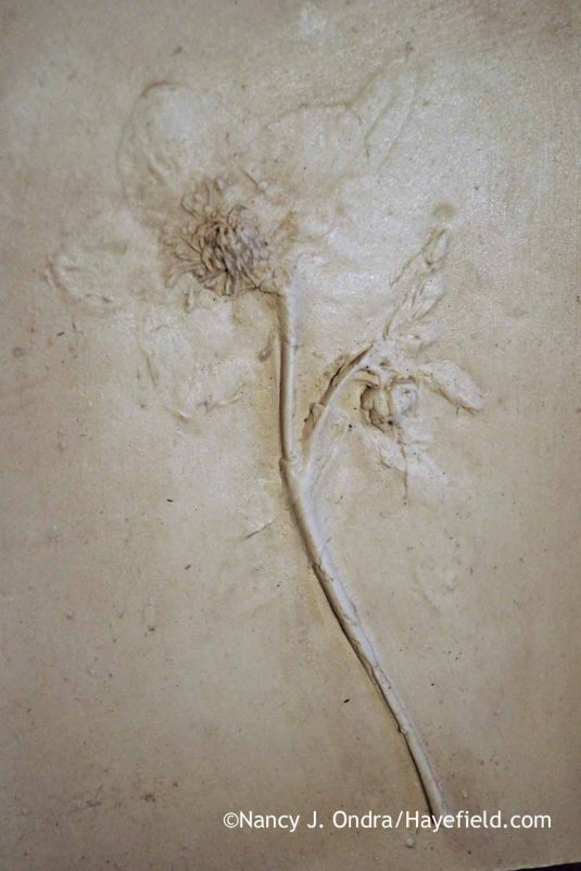 Helleborus x hybridus Plaster Tile; Nancy J. Ondra at Hayefield