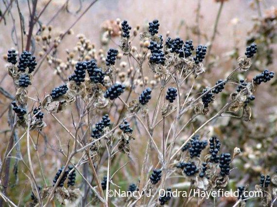Blackberry lily (Iris domestica [Belamcanda chinensis]) [Nancy J. Ondra/Hayefield.com]