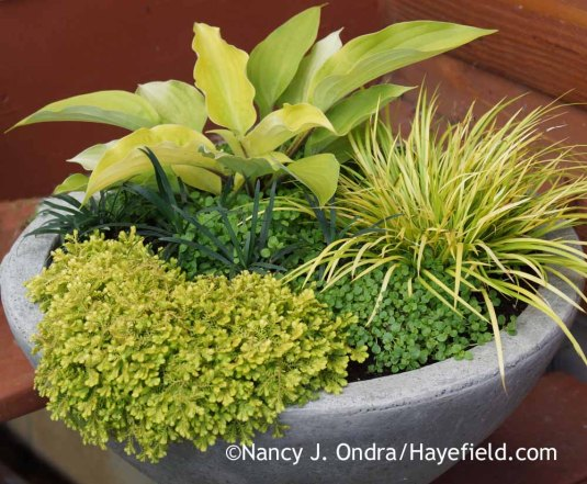 It's easy to overlook low- and slow-growing gems when you have a lot of garden to look after, but a special container gives them a place to shine. This green-and-gold grouping includes 'Fire Island' hosta, miniature golden sweet flag (Acorus gramineus 'Minimus Aureus'), Corsican mint (Mentha requienii), golden spikemoss (Selaginella kraussiana 'Aurea'), and 'Gyoku-ryu' mondo grass (Ophiopogon japonicus).