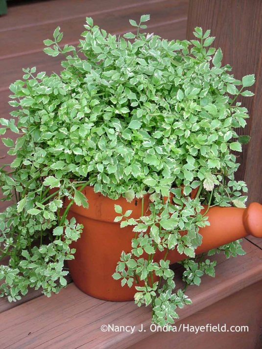 Variegated water celery (Oenanthe javanica 'Flamingo') is so pretty in a pot, but be sure to keep it on a hard surface, such as a deck or paved surface, where it can't reach the soil. [Nancy J. Ondra at Hayefield]