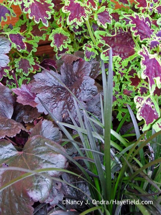 Black mondo grass (Ophiopogon planiscapus 'Nigrescens') with 'Gotham' heuchera (Heuchera) and 'Sibila' coleus (Solenostemon scutellarioides) in mid-August; Nancy J. Ondra at Hayefield