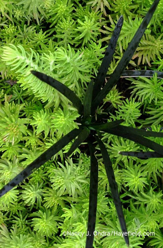 Black mondo grass (Ophiopogon planiscapus 'Nigrescens') with 'Angelina' sedum (Sedum rupestre) in mid-August; Nancy J. Ondra at Hayefield