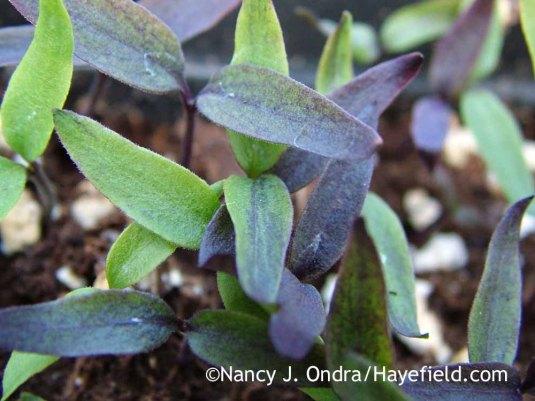 'Black Pearl' pepper (Capsicum annuum) seedlings in late March; Nancy J. Ondra at Hayefield