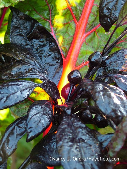 Pepper 'Black Pearl' (Capsicum annuum) with 'Bright Lights' Swiss chard