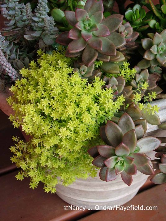 Little wonder that succulents are so popular: They're gorgeous in the garden and exquisite in containers. It was no trouble to bring this collection of 'Tokyo Sun' sedum (Sedum japonicum), 'Vera Higgins' graptosedum (x Graptosedum), and other tender succulents indoors to protect it from our cold PA winters. [Nancy J. Ondra at Hayefield]