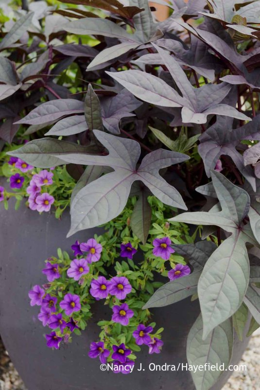 'Blackie' sweet potato vine (Ipomoea batatas) with 'MiniFamous Compact Dark Blue' calibrachoa (Calibrachoa) in early August; Nancy J. Ondra at Hayefield