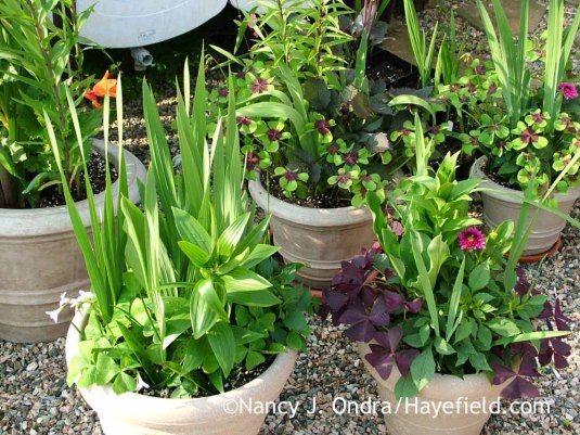 It's amazing how many bulbs you can layer into a single container. And when they're in pots, you never have to worry about forgetting to dig the tender ones that need indoor storage or skewering them when you dig them up in fall. [Nancy J. Ondra at Hayefield]