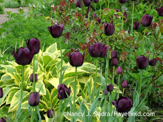 'Queen of Night' Single Late tulip with 'Axminster Gold' comfrey (Symphytum x uplandicum) in early May; Nancy J. Ondra at Hayefield