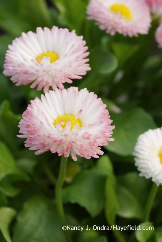English daisy (<em>Bellis perennis</em>) is typically treated like a biennial even though, as its botanical name suggests, it can return from the same roots for at least another year or two. (This one is 'Rose Bicolor'.) [Nancy J. Ondra at Hayefield]