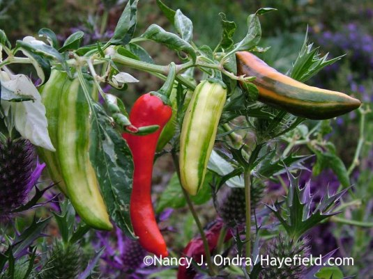 With its colorful and flavorful fruits and white-variegated foliage, the annual 'Fish' pepper (Capsicum annuum) is equally at home in vegetable gardens and ornamental plantings. [Nancy J. Ondra at Hayefield]