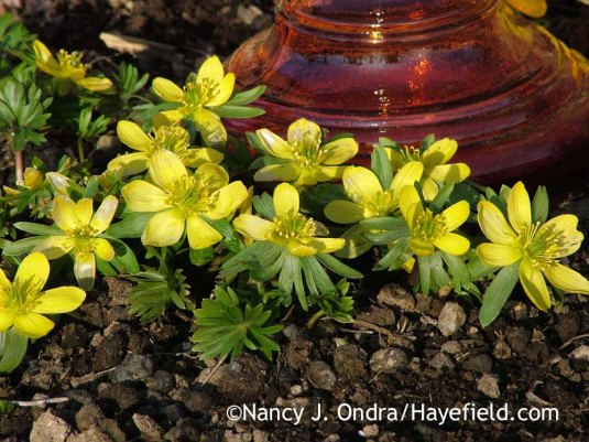 One of the first bulbs to bloom as the snow disappears is winter aconite (Eranthus hyemalis). [Nancy J. Ondra at Hayefield]