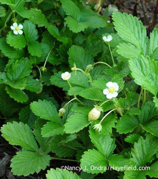 """Semperflorens (""""always flowering""""), as in the long-blooming alpine strawberry (Fragraia vesca var. semperflorens 'White Soul'); Nancy J. Ondra at Hayefield"""