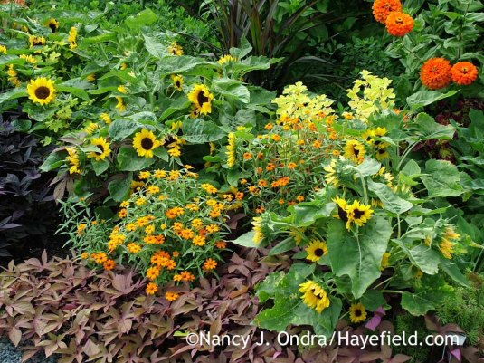 'SunnySmile'--a dwarf annual sunflower (Helianthus annuus)--with narrowleaf zinnia (Zinnia angustifolia) and 'Sweet Caroline Bronze' sweet potato vine (Ipomoea batatas) [Nancy J. Ondra at Hayefield]