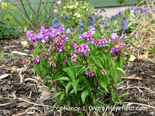 Lathyrus vernus--spring vetchling--is much more appropriately named. It flowers at the same time as many other early gems, such as Lenten rose (Helleborus x hybridus) and lungworts (Pulmonaria). [Nancy J. Ondra at Hayefield]