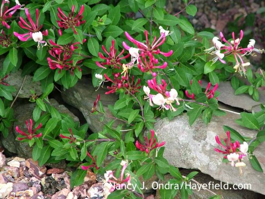 Commonly--and aptly--known as late Dutch honeysuckle, Lonicera periclymenum var. serotina usually starts flowering several weeks later than the species, and its wonderfully fragrant blooms continue to open for months. [Nancy J. Ondra at Hayefield]