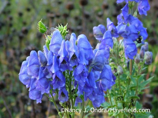 Azure monkshood (Aconitum carmichaelii Arendsii Group) [October 10, 2010]; Nancy J. Ondra at Hayefield