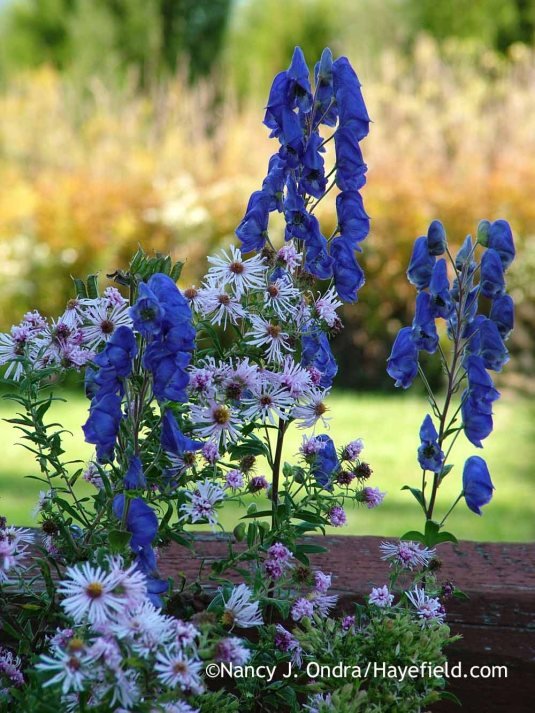 Azure monkshood (Aconitum carmichaelii Arendsii Group) with a light pink New England aster (Symphyotrichum novae-angliae) [October 9, 2011]; Nancy J. Ondra at Hayefield