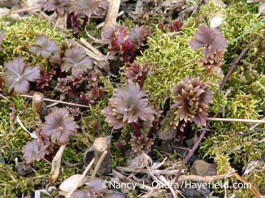 New shoots of azure monkshood (Aconitum carmichaelii Arendsii Group) [March 30, 2011]; Nancy J. Ondra at Hayefield