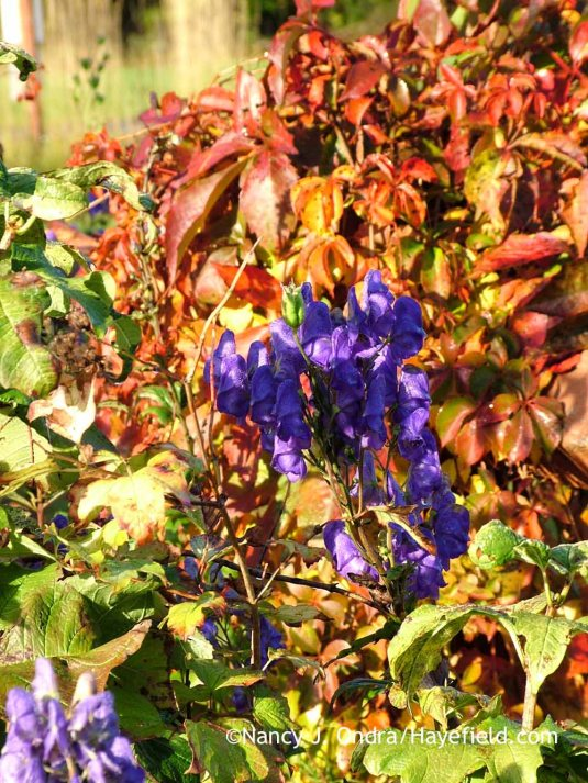 Azure monkshood (Aconitum carmichaelii Arendsii Group) against fall-colored Virginia creeper (Parthenocissus quinquefolia) [October 10, 2011]; Nancy J. Ondra at Hayefield