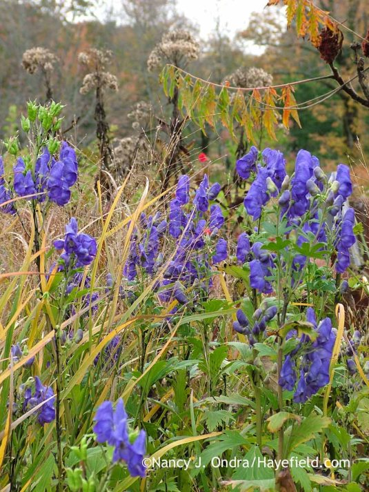 Azure monkshood (Aconitum carmichaelii Arendsii Group) with 'Heavy Metal' switch grass (Panicum virgatum), Joe-Pye weed (Eutrochium maculatum), and cutleaf smooth sumac (Rhus glabra 'Laciniata') [October 12, 2010]; Nancy J. Ondra at Hayefield