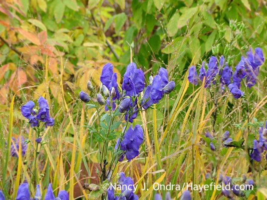 Azure monkshood (Aconitum carmichaelii Arendsii Group) against 'Heavy Metal' switch grass (Panicum virgatum) and three-flowered maple (Acer triflorum) [October 12, 2010]; Nancy J. Ondra at Hayefield
