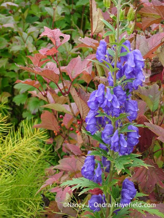 Azure monkshood (Aconitum carmichaelii Arendsii Group) with Redwing American cranberrybush viburnum (Viburnum trilobum 'J. N. Select') and Arkansas bluestar (Amsonia hubrichtii) [October 28, 2005]; Nancy J. Ondra at Hayefield