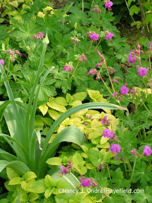 'Mars' allium (Allium) with golden lemon balm (Melissa officinalis 'All Gold') and bigroot geranium (Geranium macrorrhizum); Nancy J. Ondra at Hayefield