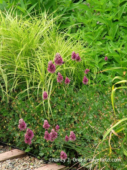 I thought it would be clever to pair drumstick allium (Allium sphaerocephalum) with a bushy companion for support, but bloody cranesbill (Geranium sanguineum) wasn't sturdy enough to do the job. [Nancy J. Ondra at Hayefield]