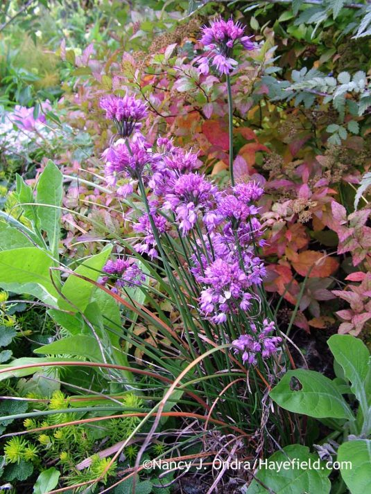 'Ozawa' Japanese onion (<em>Allium thunbergii</em>) against the fall color of Dakota Goldcharm spirea (<em>Spiraea japonica</em> 'Mertyann') with 'Angelina' sedum (Sedum rupestre) and flowering tobacco (Nicotiana) [October 24, 2010]; Nancy J. Ondra at Hayefield