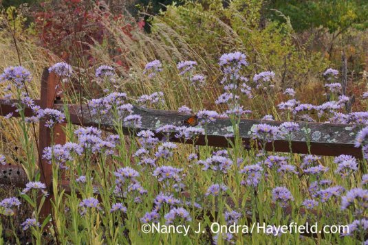 Tatarian aster (Aster tataricus) against the seedheads of Indian grass (Sorghastrum nutans) [October 14, 2014]; Nancy J. Ondra at Hayefield