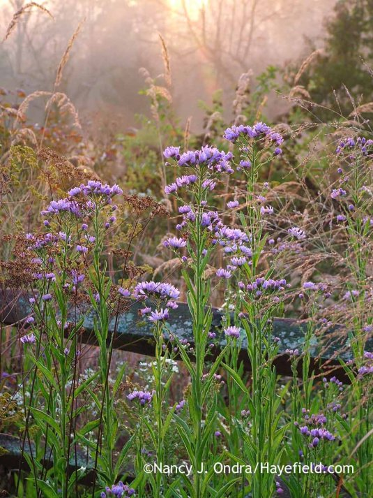 Tatarian aster (Aster tataricus) with the seedheads of Indian grass (Sorghastrum nutans) and 'Dallas Blues' switch grass (Panicum virgatum) [October 5, 2013]; Nancy J. Ondra at Hayefield