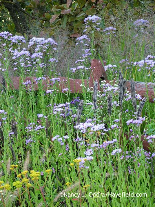 Tatarian aster (Aster tataricus) with the airy seedheads of 'Dallas Blues' switch grass (Panicum virgatum) and the spiky seedheads of Carolina lupine (Thermopsis villosa) [October 4, 2012]; Nancy J. Ondra at Hayefield