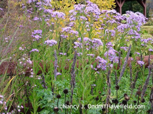 Tatarian aster (Aster tataricus) with the seedheads of Carolina lupine (Thermopsis villosa) and purple coneflower (Echinacea purpurea) against the yellow fall foliage of golden locust (Robinia pseudoacacia 'Frisia') [October 12, 2009]; Nancy J. Ondra at Hayefield
