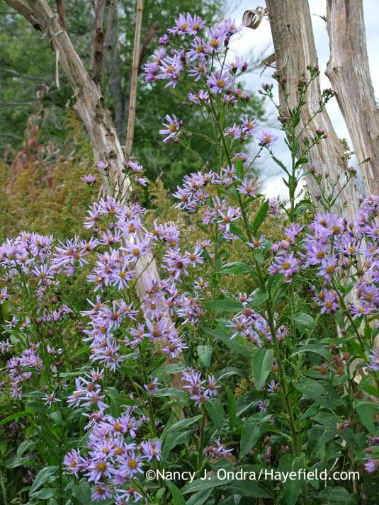 Tatarian aster (Aster tataricus) with the trunks of seven-sons tree (Heptacodium miconioides) [October 28, 2006]; Nancy J. Ondra at Hayefield