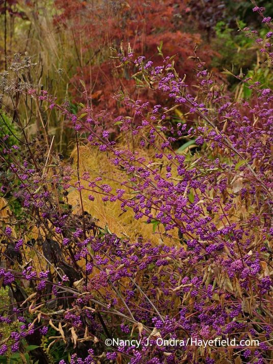 'Issai' Japanese beautyberry (Callicarpa dichotoma) against Arkansas bluestar (Amsonia hubrichtii) and Japanese maple (Acer palmatum) in fall color [November 1, 2013]; Nancy J. Ondra at Hayefield