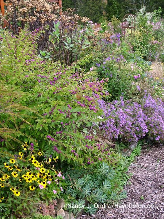 'Issai' purple beautyberry (Callicarpa dichotoma) with orange coneflower (Rudbeckia fulgida), Euphorbia nicaeensis, aromatic aster (Symphyotrichum oblongifolium), and ironweed (Vernonia) seedheads [October 8, 2012]; Nancy J. Ondra at Hayefield