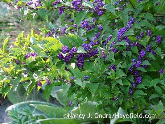'Issai' purple beautyberry (Callicarpa dichotoma) [October 6, 2011]; Nancy J. Ondra at Hayefield