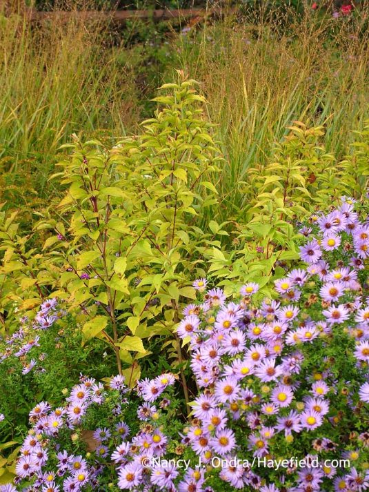 'Issai' Japanese beautyberry (Callicarpa dichotoma) developing fall color with 'Rotstrahlbusch' switch grass (Panicum virgatum) and aromatic aster (Symphyotrichum oblongifolium) [October 24, 2011]; Nancy J. Ondra at Hayefield